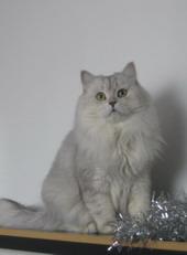 Вязка! Кот персидский шиншилловый ждет невест