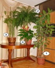 Набор крупных комнатных растений для офиса или зимнего сада