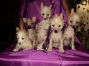 Щеночки Китайской Хохлатой Собаки