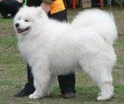 Предлагаются к продаже высокопородные щенки самоедской собаки