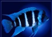 Аквариумные рыбки оптом и в розницу.