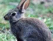 Крольчонок,  спасённый от мяса,  ищет дом.