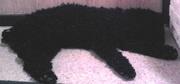 В районе Юго-Запад (Гурзуфская) найден небольшой черный кудрявый пес