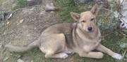 Щенок Волчонок,  девочка,  4 месяца