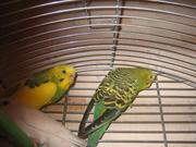 Продам пару   волнистых попугаев с клеткой.