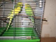 Пара молодых волнистых попугаев.