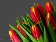 Тюльпаны оптом и розницу по низким ценам Екатеринбург,  Нижний Тагил