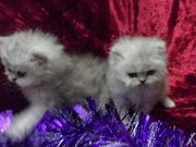 Персидские котята-шиншиллы