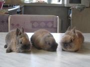 Продаются милые,  ручные карликовые крольчата!