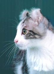 котята американский керл