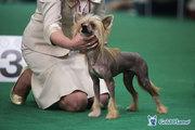 Китайская хохлатая собака,  щенки!