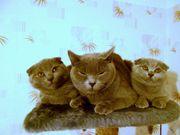 Продаются котята Scottish Fold (Шотландские вислоухие)