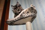 Перспективные котята мейн-куны. Доставка