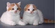 Котята шотландской короткошерстной