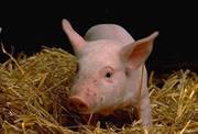 Мясо свинина охлажденная