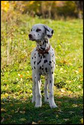 Очаровательный щенок далматина девочка