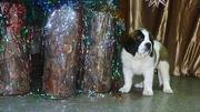 Сенбернара щенок-кобель к/ш в Новосибирске,  пит-к