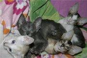 ориентальные и сейшельские котята