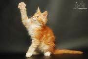 Котята мейн-кун. Питомник.