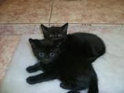 Два черных счастья! 1, 5 месяца.