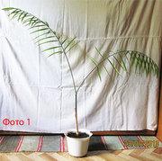 Продам комнатную пальму - хамедорею