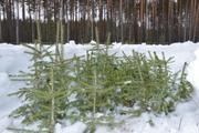 Саженцы ели сибирской,  высота 0,  4-0,  6 метра