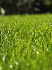 Продажа газоных смесей,  травосмеси,  семена многолетних трав.