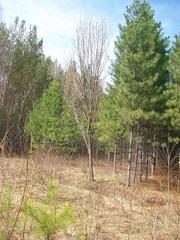 Продажа и посадка деревьев крупномеров