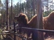 продам верблюда или обменяю на страсов