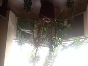 Комнатное растение крупное Монстера