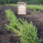 Сеянцы ели - быстрый рост в новом году