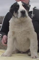 Алабай (среднеазиатская овчарка) чистокровные щенки