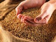 Кормовое зерно( Фуражное зерно)