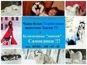 ХАСКИ черно-белых красивенных щеночков с голубыми глазами