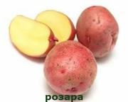 Картофель семенной Розара оптом