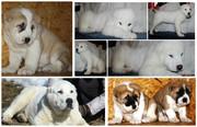 Среднеазиатская овчарка,  щенки