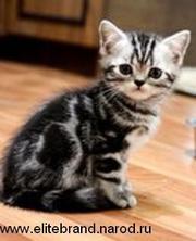Британские серебристые мраморные зеленоглазые котята
