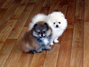 Шпиц померанский миниатюрный,  щенки