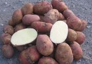Картофель оптом от производителя продам.