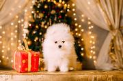 Щенок шпица-лучший новогодний подарок