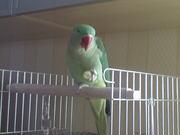 продам александрийского попугая