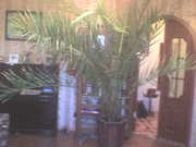 комнатная финиковая пальма