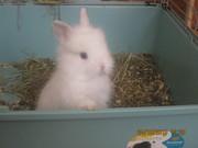 Карликовые львиноголовые крольчата (Lionhead Rabbit).