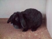 Карликовый кролик-баран